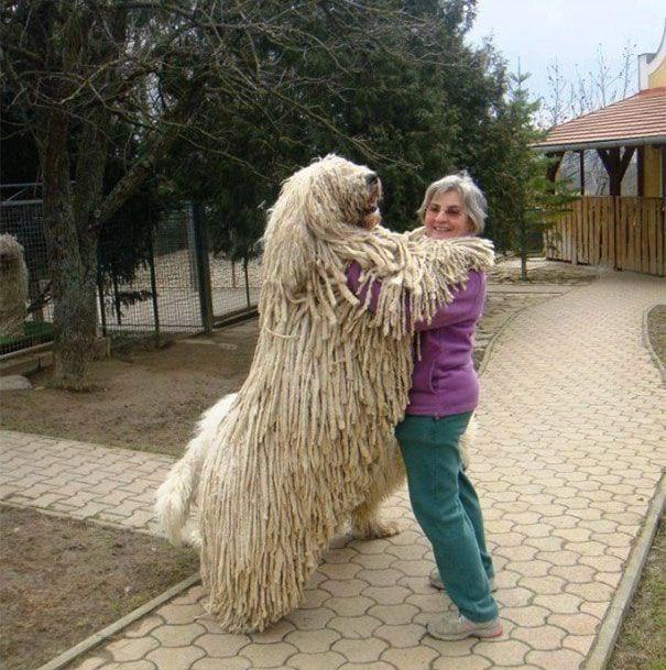 25 огромных собак, которые не понимают насколько они большие