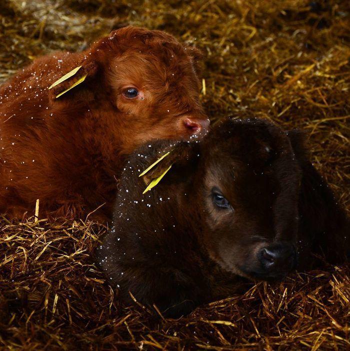 Если вы грустите, то очень рекомендуем посмотреть на фото этих милых телят!