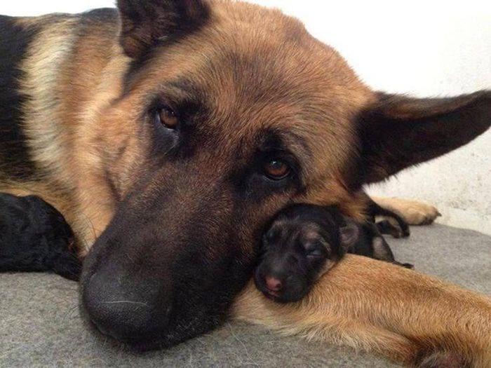 20 взрослых собак и их милые уменьшенные копии