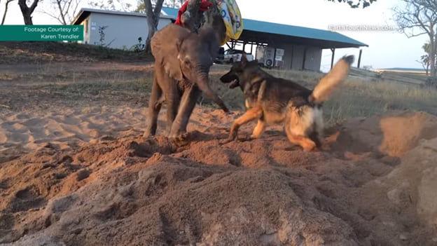 Стадо отвергло слоненка и обрекло на смерть, но люди спасли его