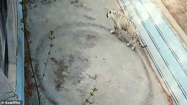 Тигр, который от грусти и скуки вытоптал в вольере круг, получил помощь психолога