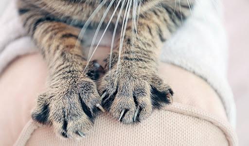 Почему кошки топчутся по нам лапами